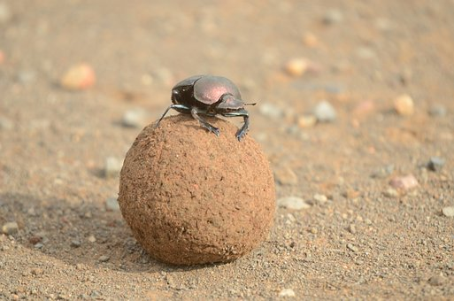 scarab beetle and ball of dung
